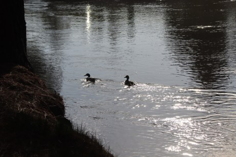 Two ducks and a duckling swim in the river, April 30 photo by Kayla Scott