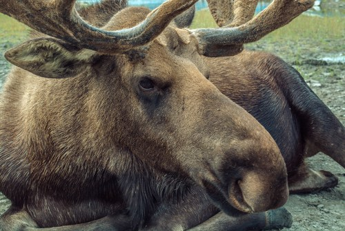 Moose on the loose in Orillia