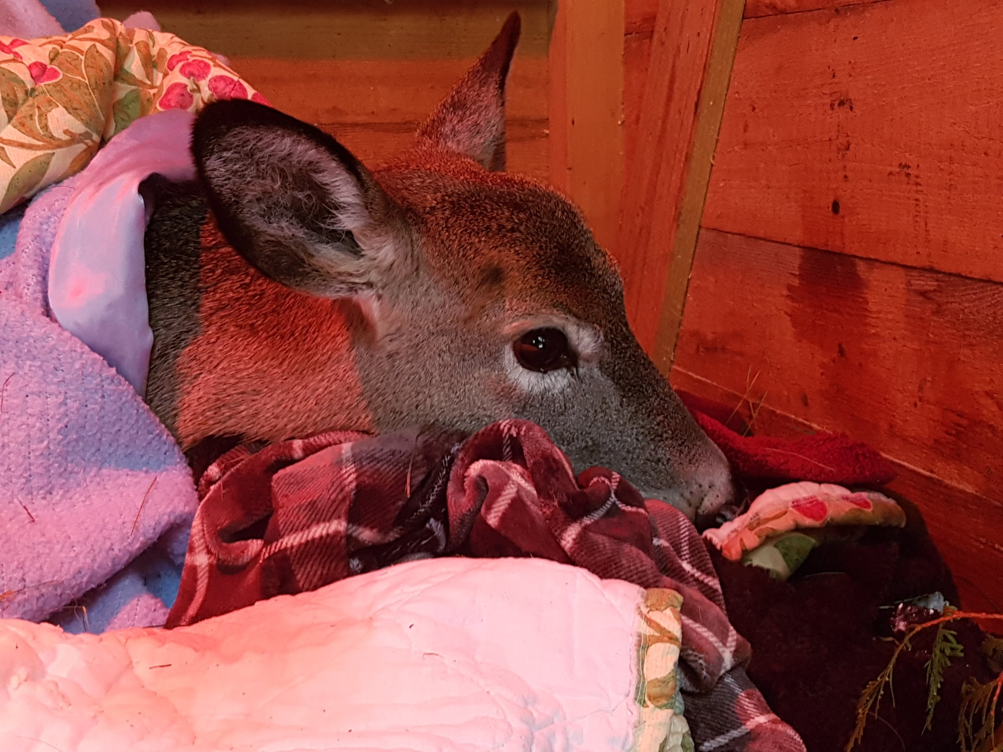 Deer rescued from Lake Simcoe succumbs to injuries
