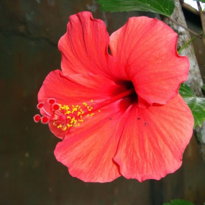 "Ingredient Superstar: Hibiscus (AKA the ""Botox Plant"")"