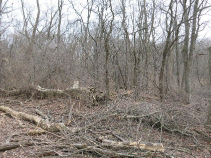 """Buckthorn thicket """"before"""""""