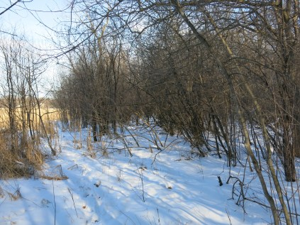 #10 glossy buckthorn encroaching all along the wetlands