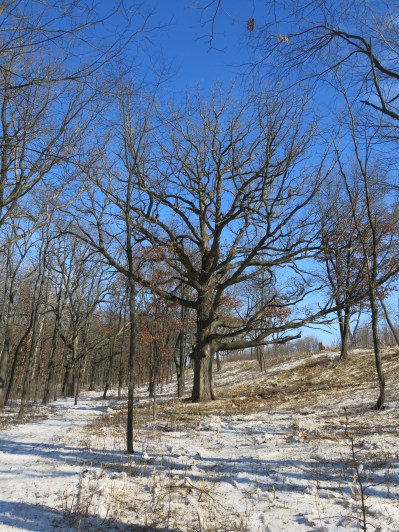 This is the second biggest oak at The Marsh and it was surrounded by a wall of 8' tall buckthorn