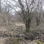 The southeast part of the property has extensive buckthorn thickets.