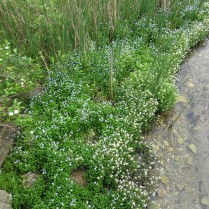 Invasive Forget-me-not and Water Cress at the gaging station bridge