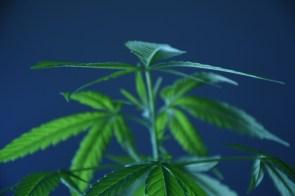 marijuana plant early morning