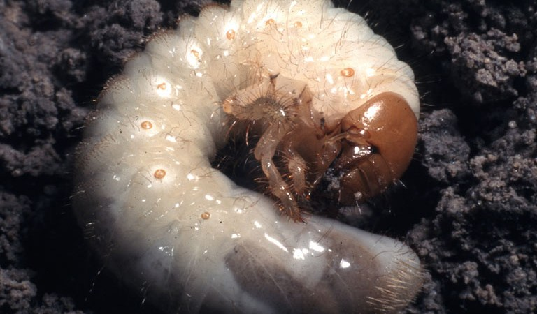 Close-up of white grub from scarab beetle