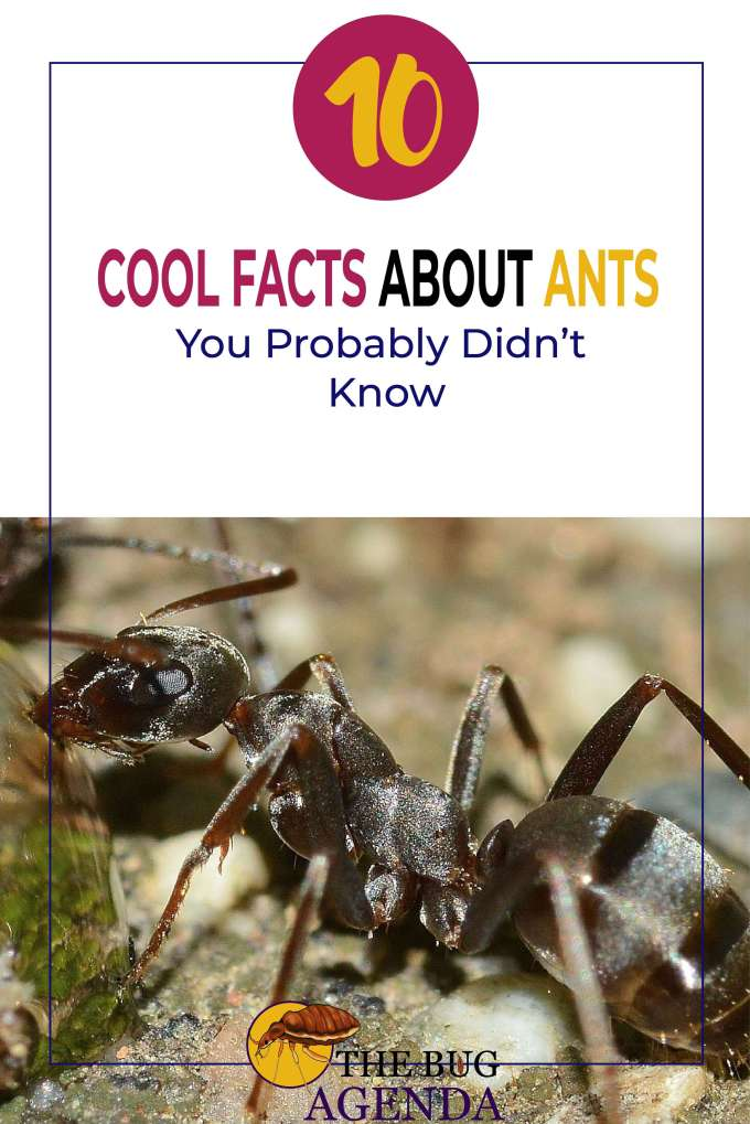 Cool facts about ants pinterest image
