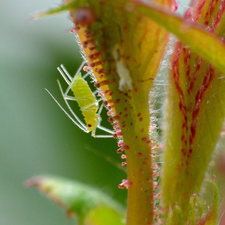 what do aphids eat