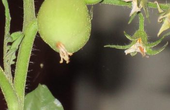 pests of tomatoes