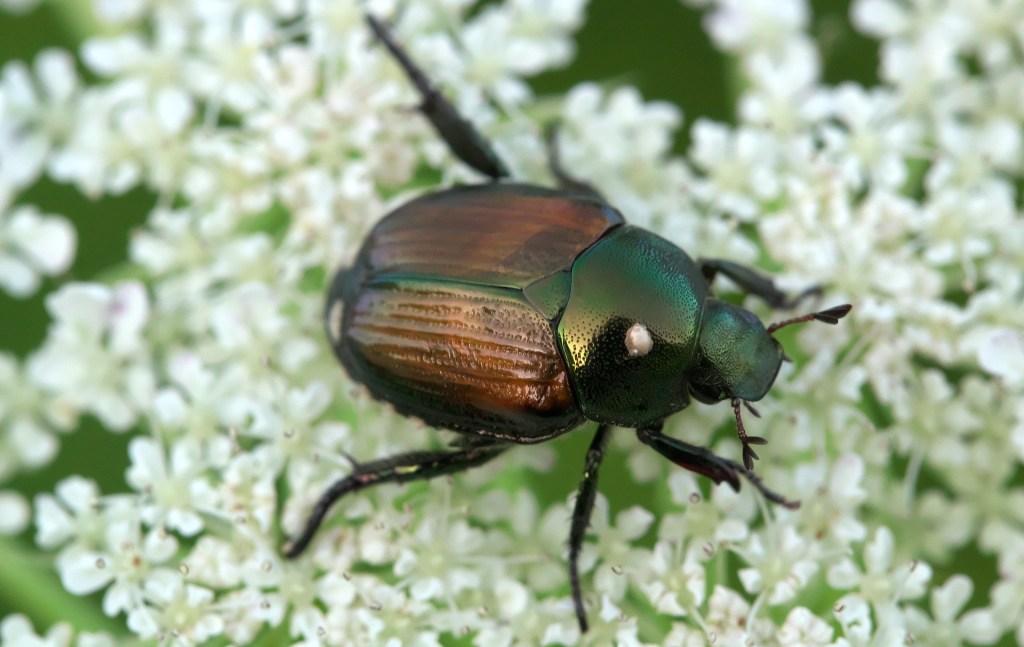 Japanese beetle - exotic bugs