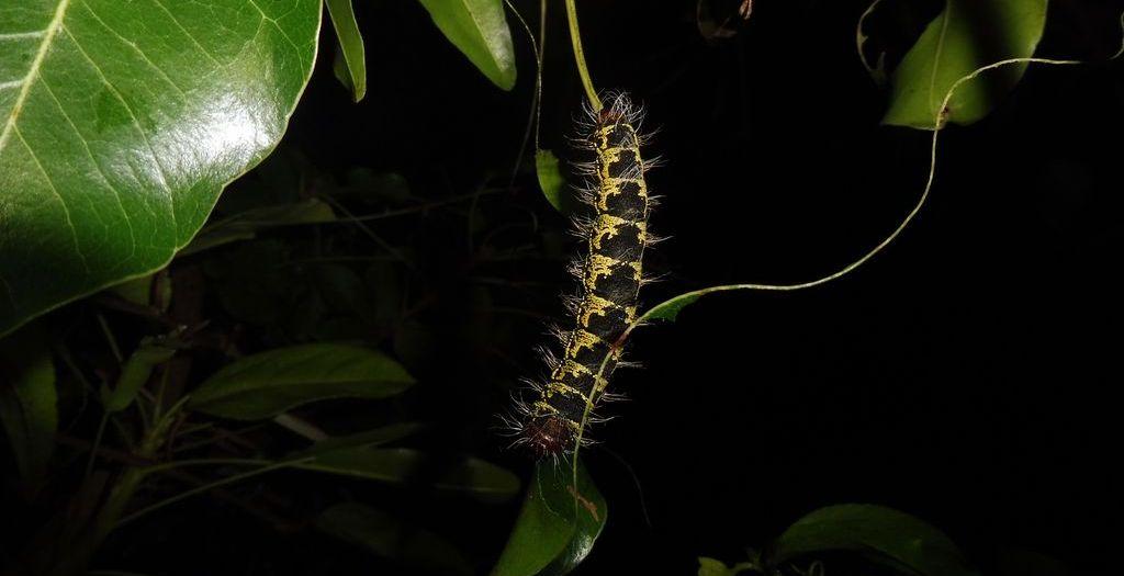 chenille de karité, insecte comestible du burkina faso
