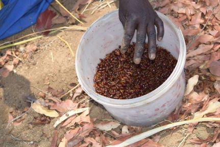 récolte des termites soldats en afrique du sud par the bug trotters