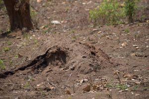 termitiere macrotermes falciger