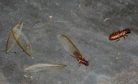 winged-termites-africa