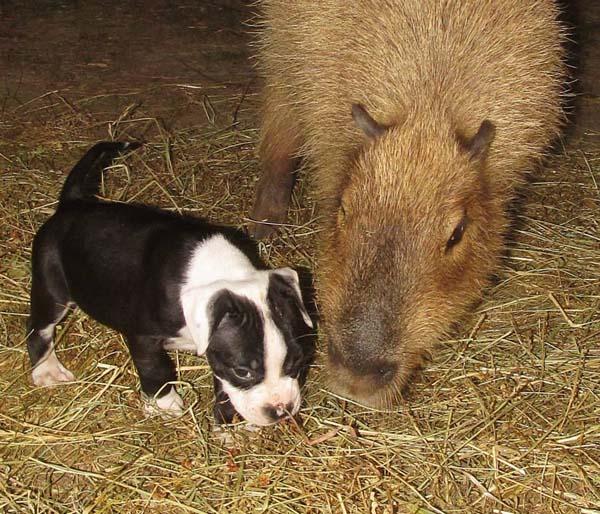bull-pups7