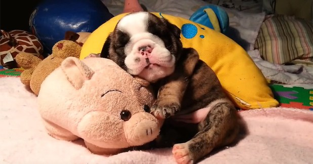 This Video Of A Bulldog Puppy Snoring Is Officially The Cutest Thing Ever Filmed