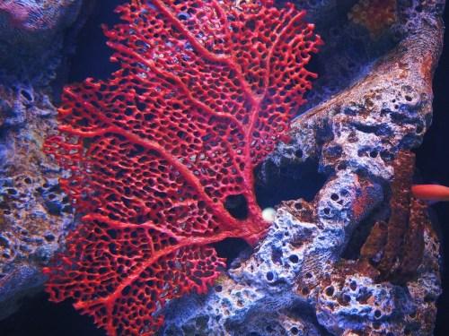 red coral fan underwater