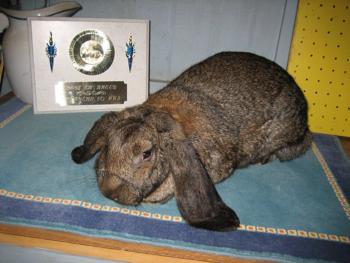 French Lops Bunnies  The Bunny Havencom lop dwarf