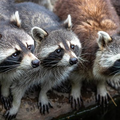 How to get rid of raccoons from your house in Canada