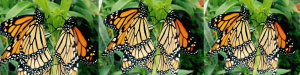 The Butterfly Musketeers -Protecting and Raising Awareness for the Monarch Butterfly