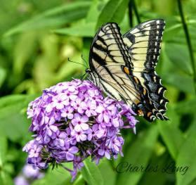 cl_butterfly_11