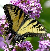 cl_butterfly_5