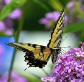 cl_butterfly_6