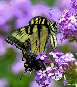 cl_butterfly_9
