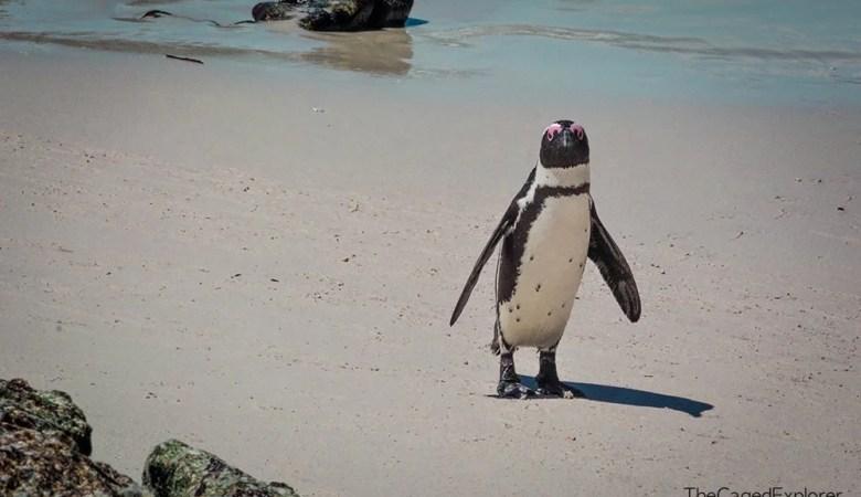 A Penguin on Boulder's Beach