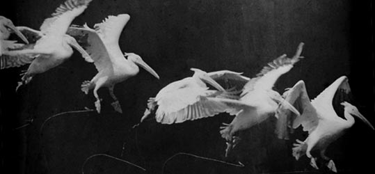 A photo of flying pelican taken by Étienne-Jules Marey around 1882