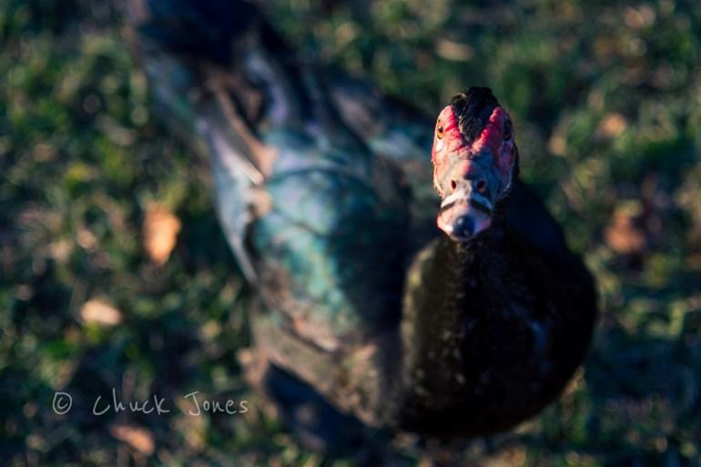 The Ugly Duck - Sony A7R, Leica 90mm Elmarit @ f/2.8, 1/320 sec, ISO 100