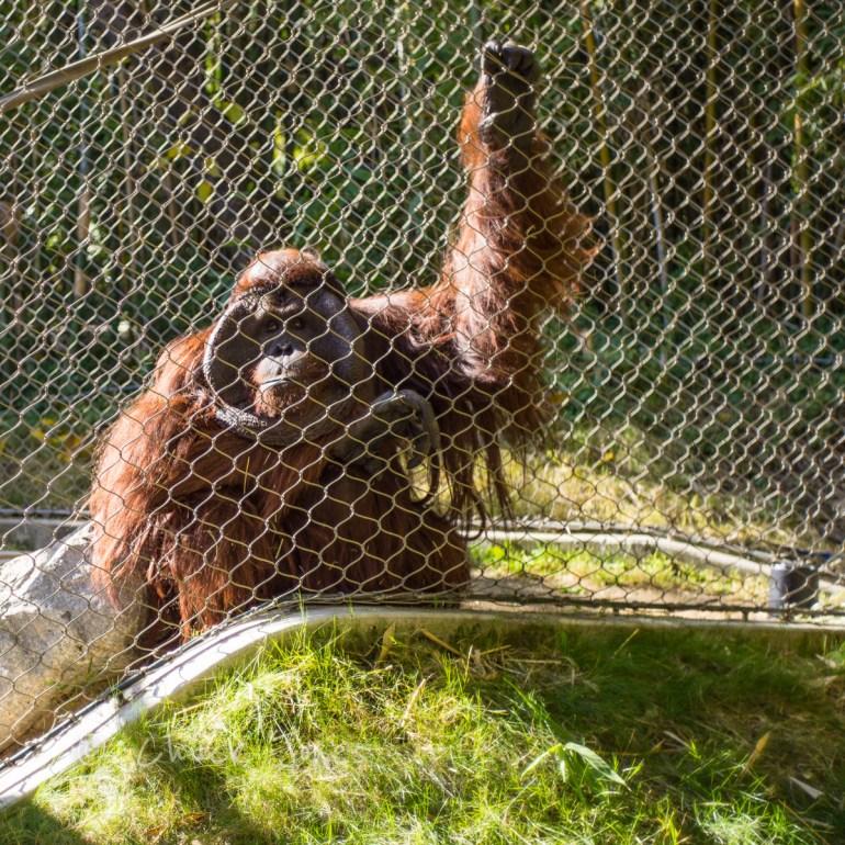 Orangoutang - At The Zoo Series - A7R, Leica 35mm Summicron.