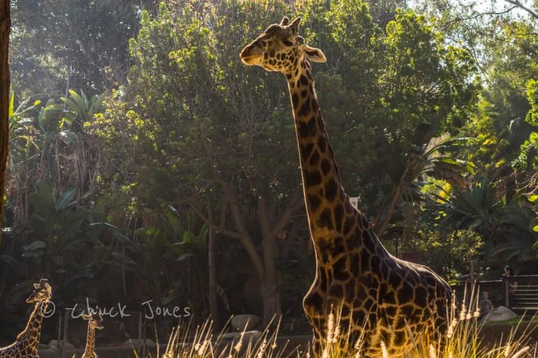 """Giraffe II"" - At The Zoo Series - A7R, Canon 55mm FD f/1.2."
