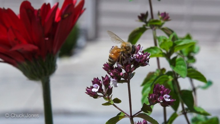 California Honey Bee Feeds At An Apartment Balcony Flower Box - Mine!