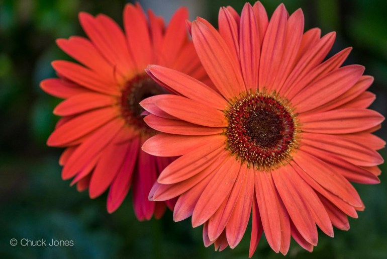 Gerber Daisys are one of my favorites for color.