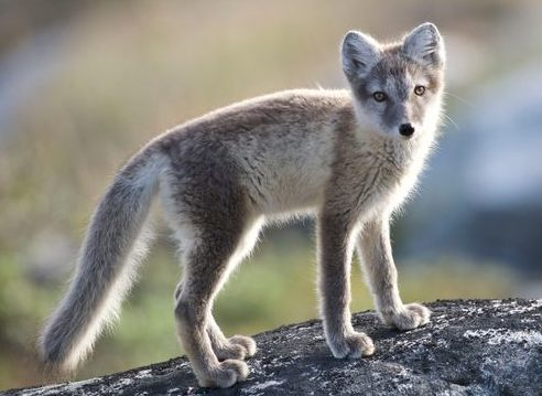 An incredible journey: Arctic fox walks over 3,500 km from Norway to Canada