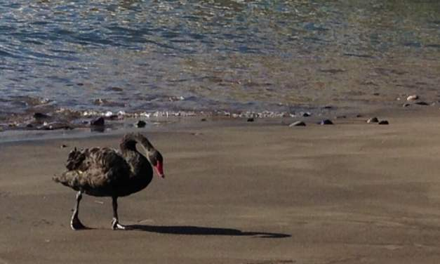 The mystery of Gran Canaria's black swans, is there now a third bird?