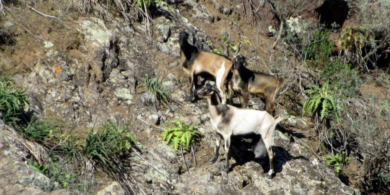 """""""Hunting"""" cows, donkeys, horses, sheep and goats labeled barbaric by animal protectors and hunters."""