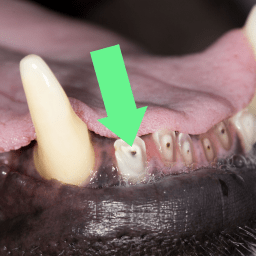 picture of tooth fracture to canine incisor with pulp exposure.