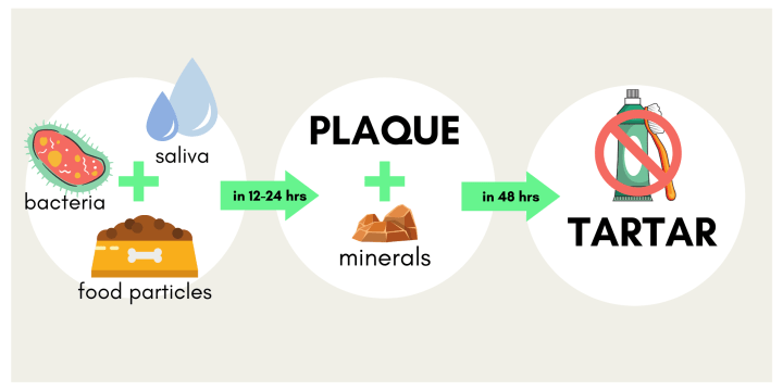 Graphic showing that the combination of saliva, bacteria and food particles for Plaque. And that when Plaque combines with minerals it forms tartar in dogs.