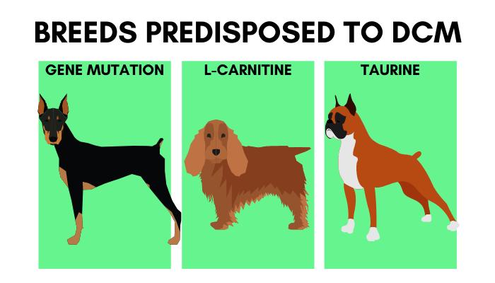 Breeds Predisposed to DCM - Doberman, Cocker Spaniel, Boxer