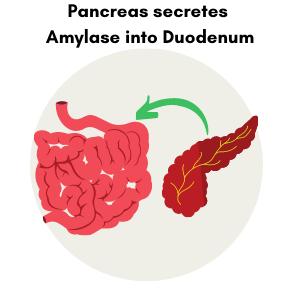 Pancreas secretes amylase into duodenum to digest grains.