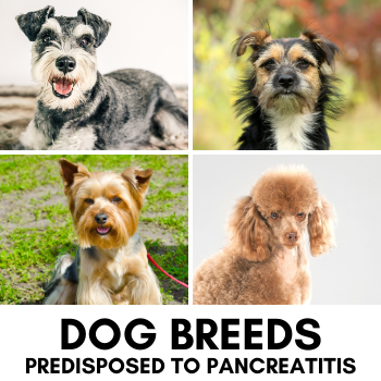 Dog Breeds that commonly have pancreatitis