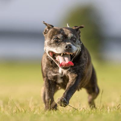 Senior Dog Running