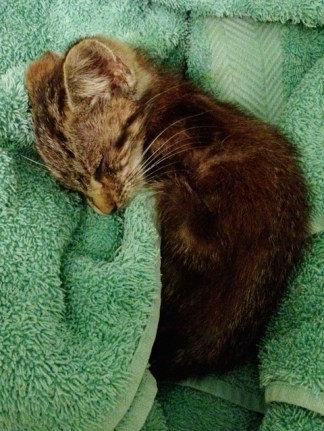 A sickly kitten curls up in a warm towel after being rescued during a rainstorm.