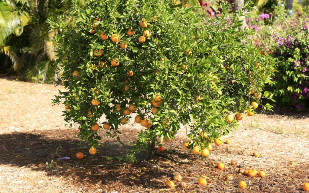 Court blocks controversial pesticide designed to fight citrus disease