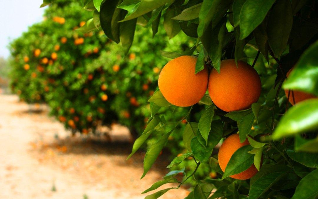 Citrus War in Florida Continues to Bear Bitter Fruit