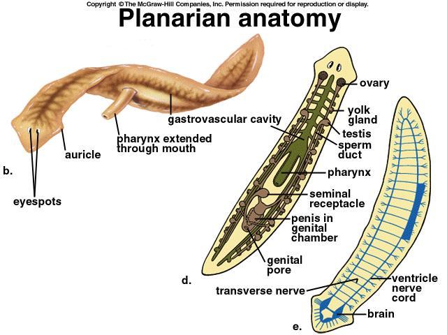 Planarian Planariidae  Cardiovascular