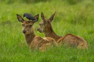 roe-deer-809433_1280